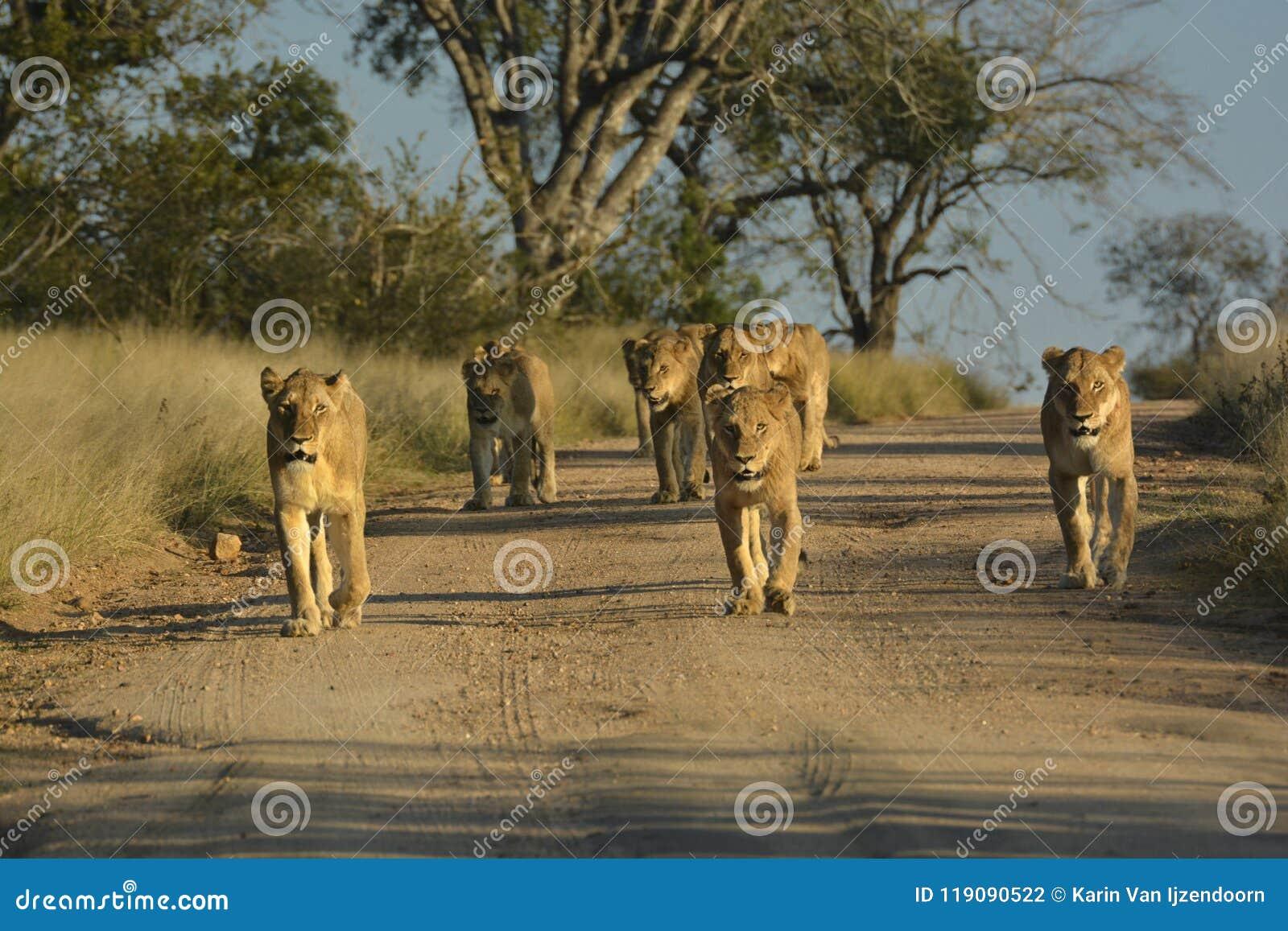 Fierté de lion marchant sur la route de sable