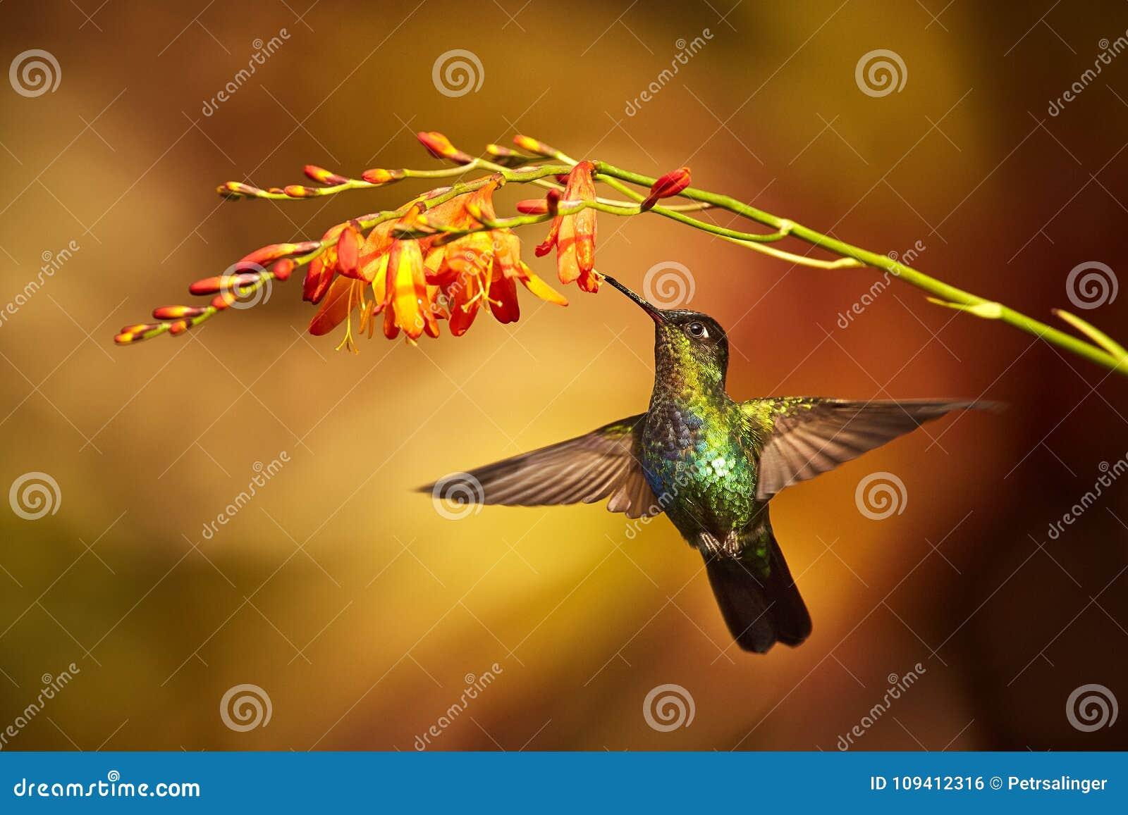 Fiery-throated Hummingbird, Panterpe insignis, shiny colour bird