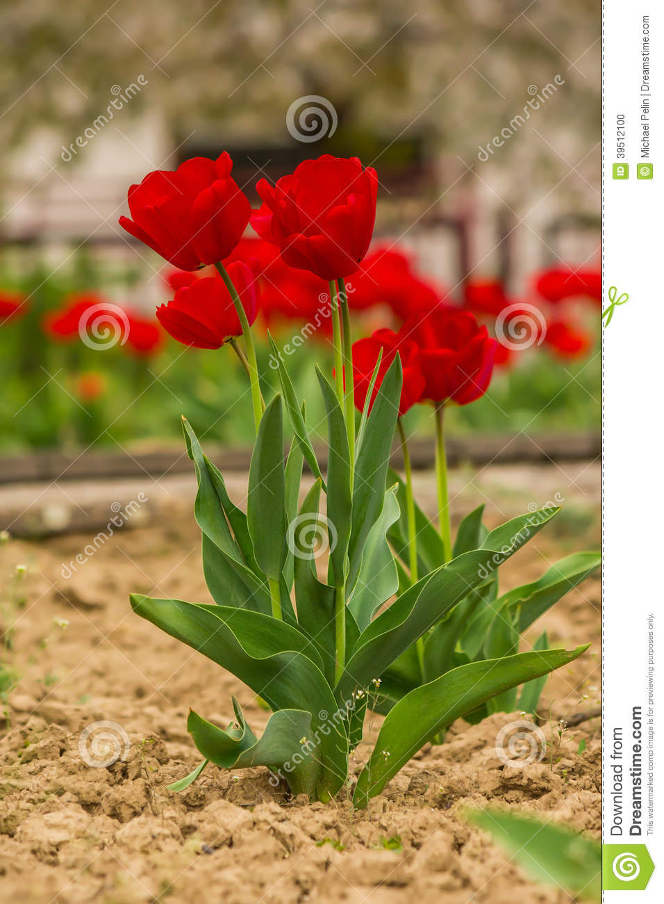 Fiew red tulip on color blurred background