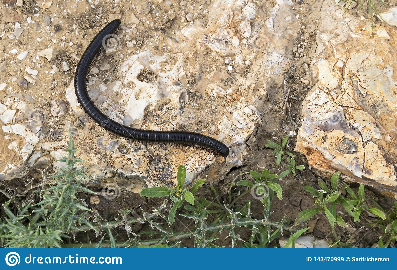 Giant Black Millipede Crawling on a Rock in the Desert