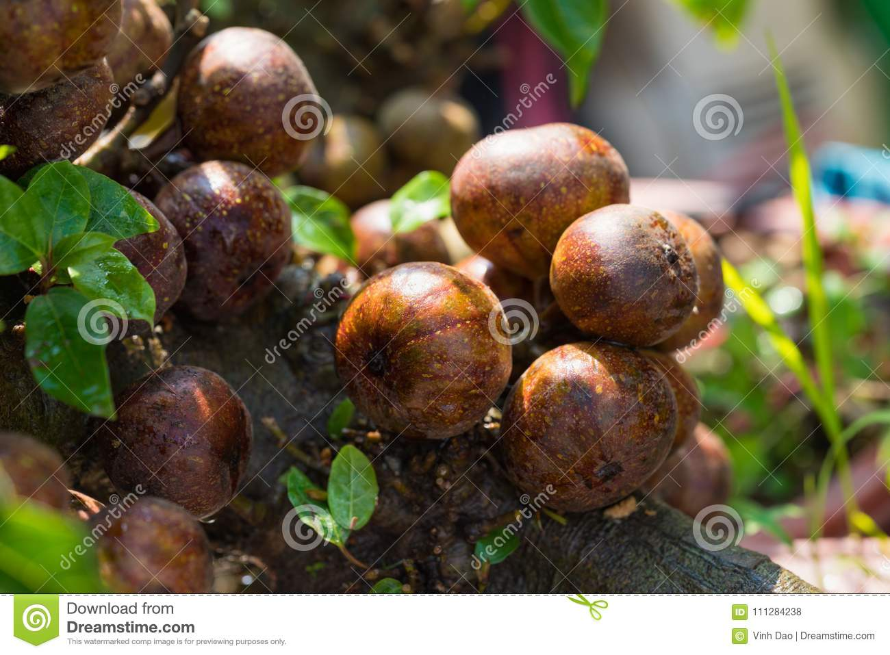 Fig fruits on tree outdoor undFig fruits on tree outdoor under sunlighter sunlight