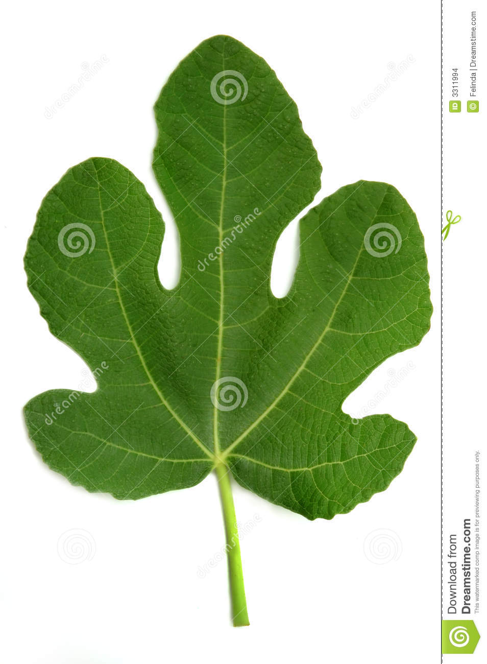 fig leaf stock images image 3311994