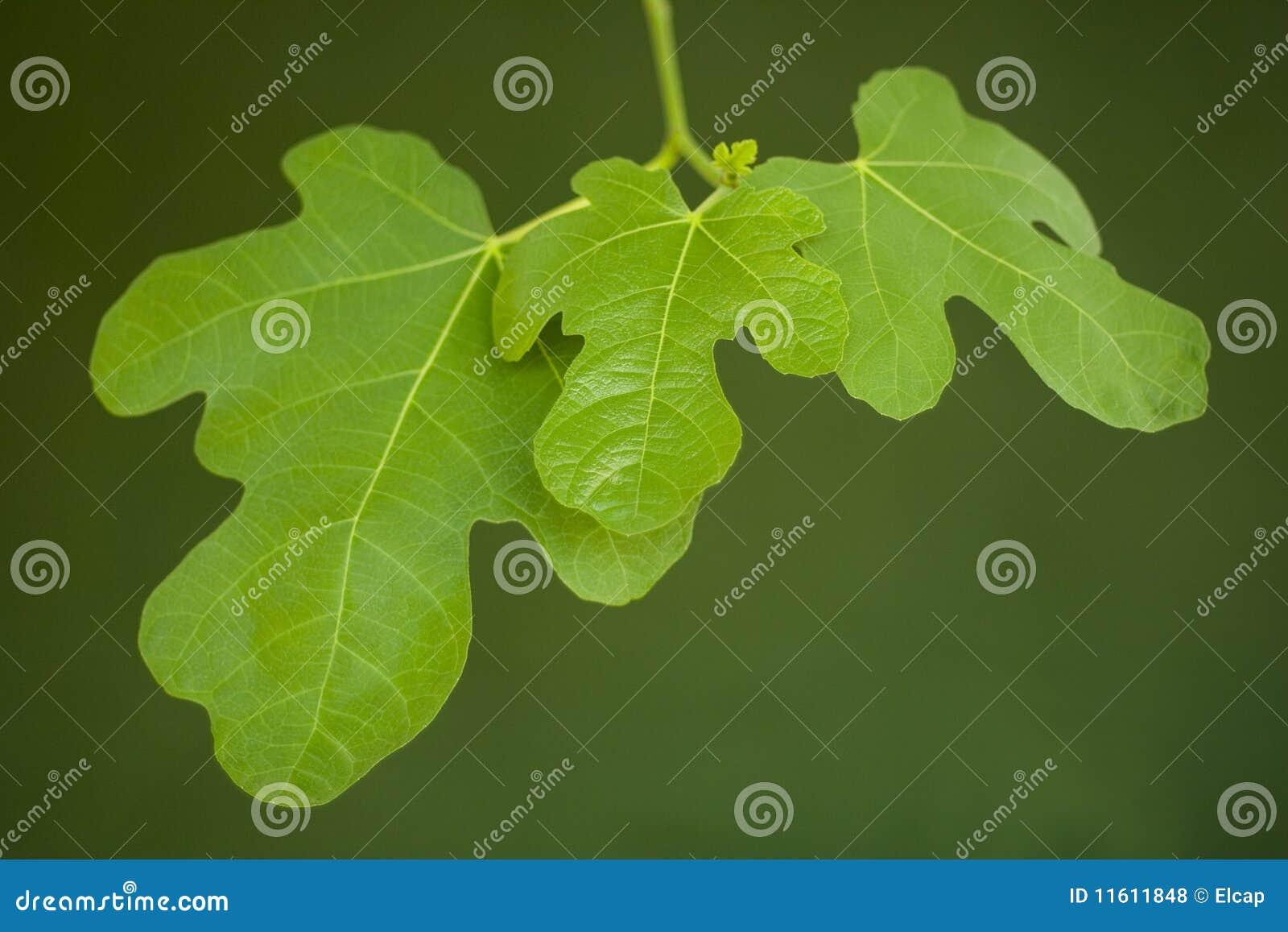 Fig leave 002