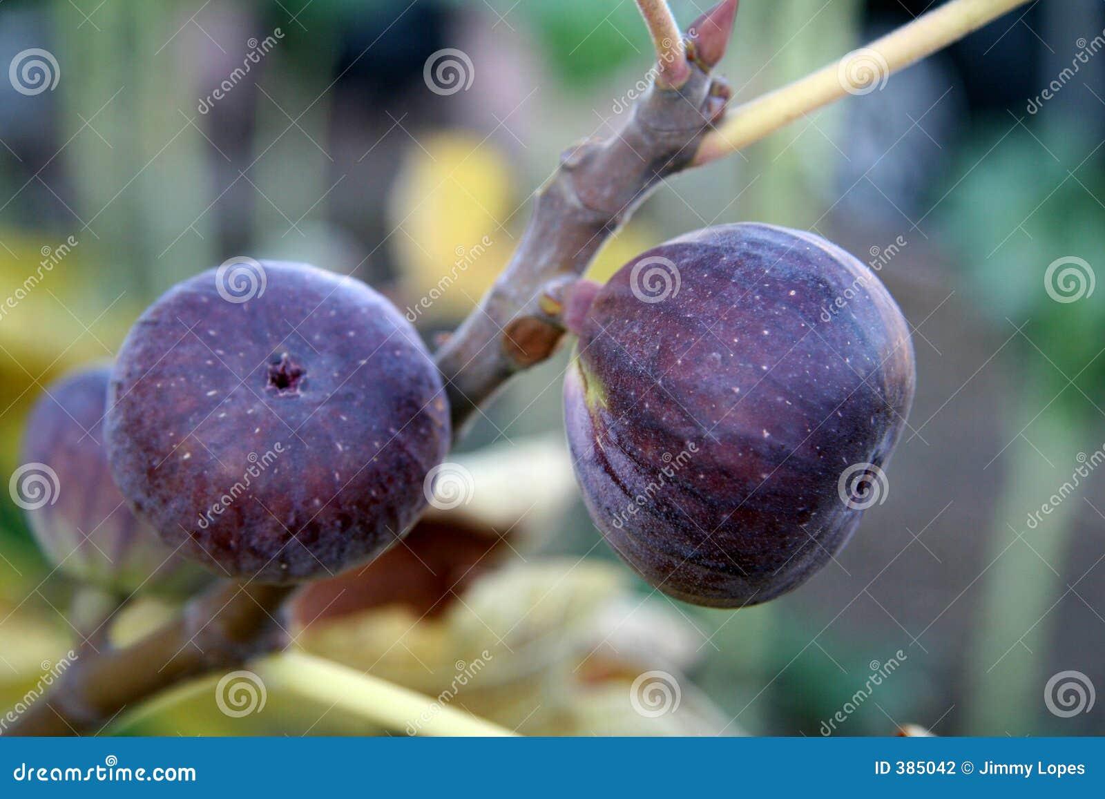 Fig. op de Wijnstok