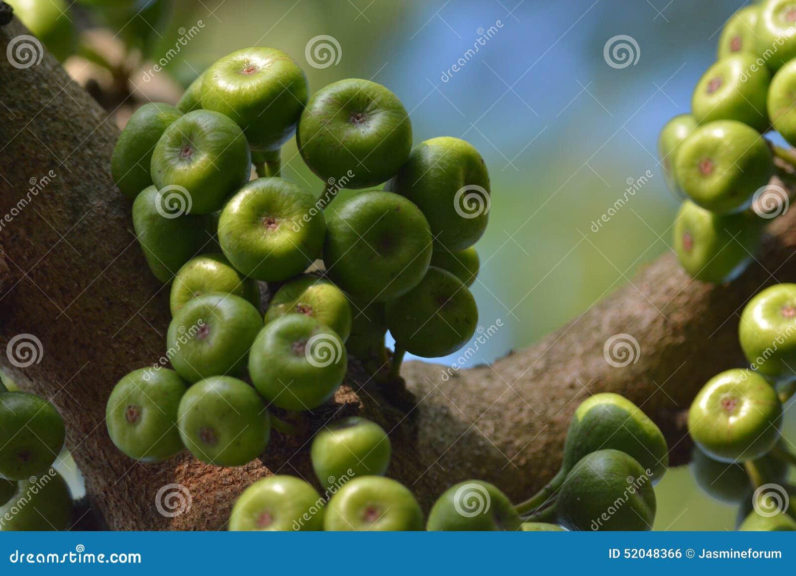 Biblical Fig Tree In Kerala Sundayfarmer