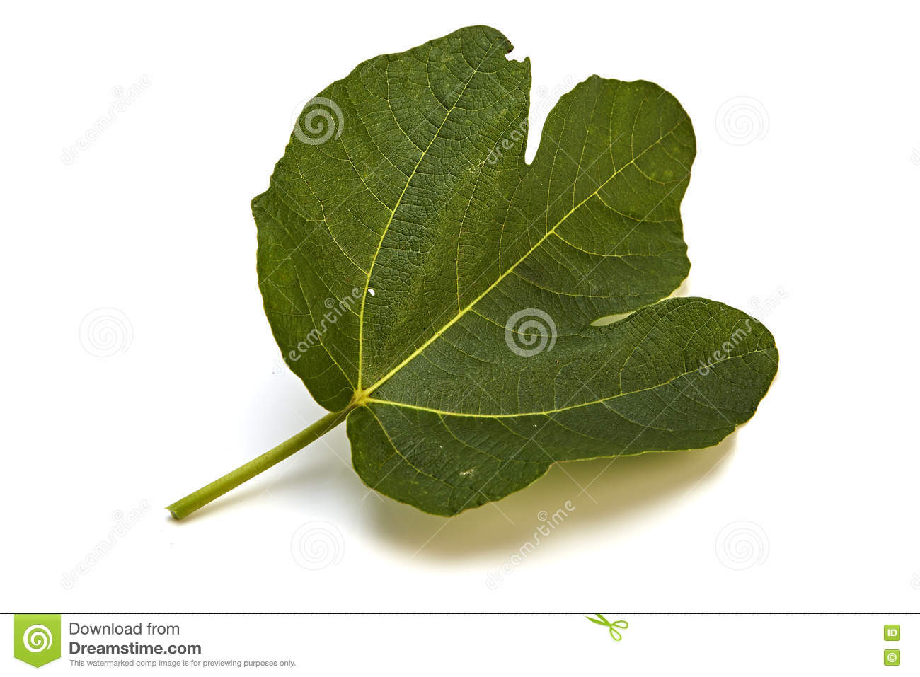 adam fig leaf stock photos images u0026 pictures 62 images