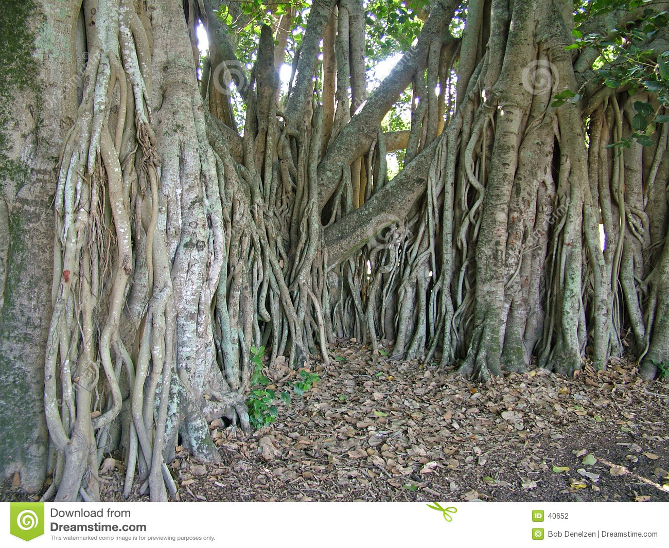 Fig Tree Roots Stock Photography Image 40652