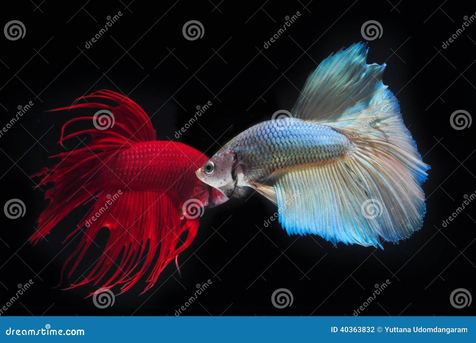 FIGHT FISH stock photo. Image of color, siamese, siam - 40363832