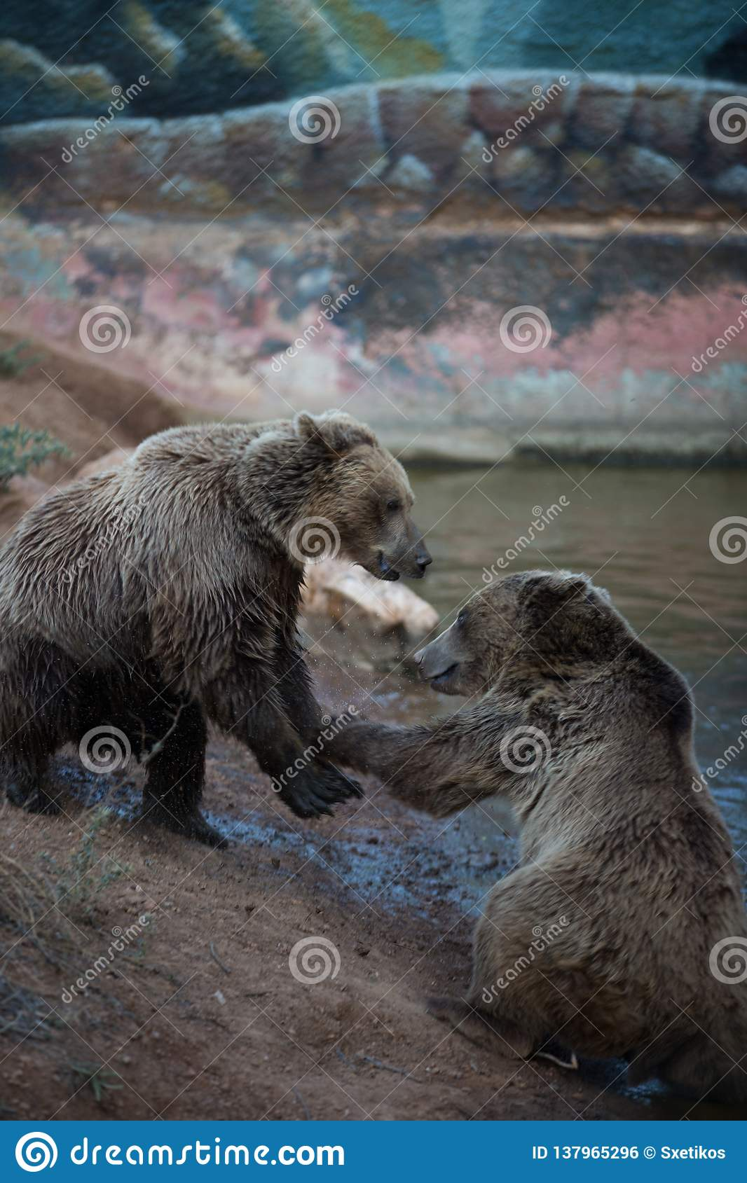 A fight between two brown bears
