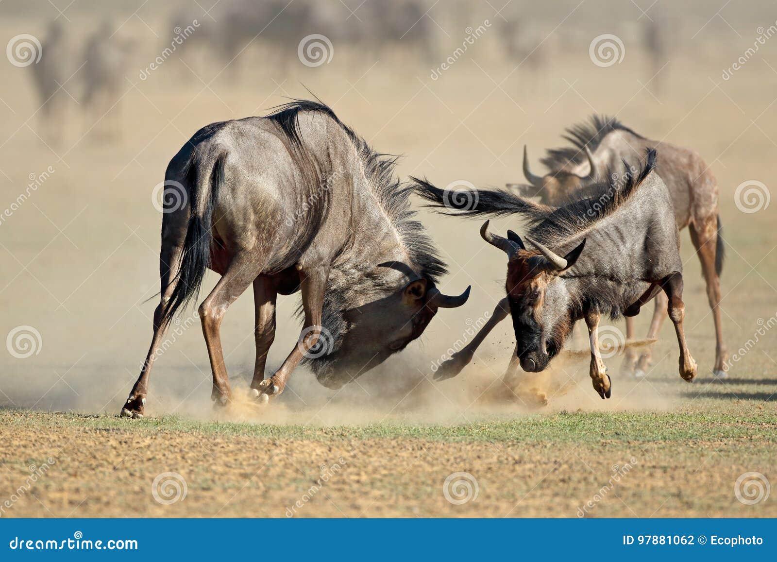 Fighting blue wildebeest