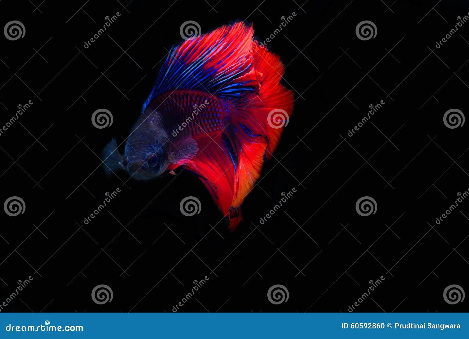 fighting fish stock photo image 60592860. Black Bedroom Furniture Sets. Home Design Ideas