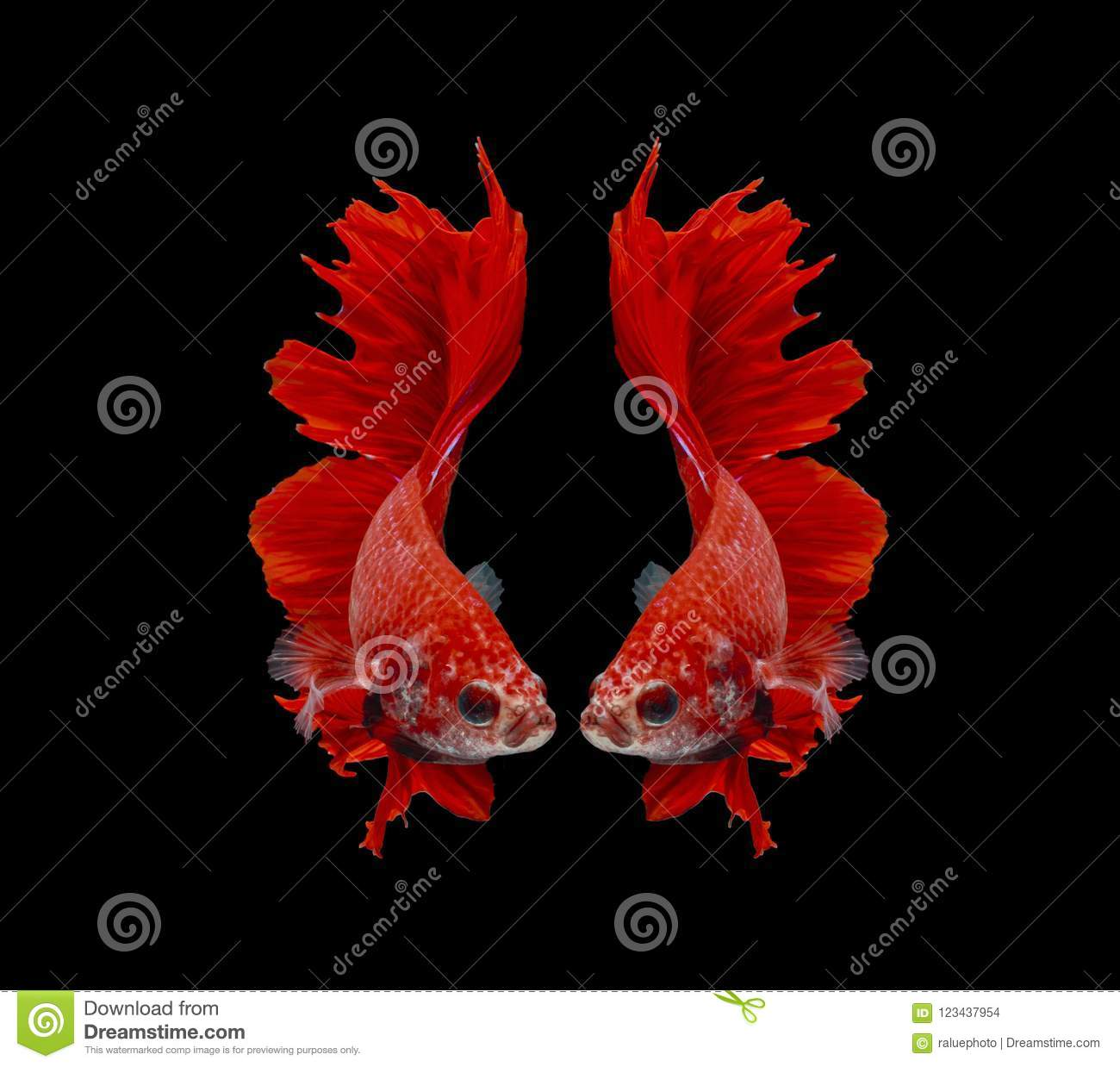 Fighting Fish, Red Fish On A Black Background, Color Siamese ...