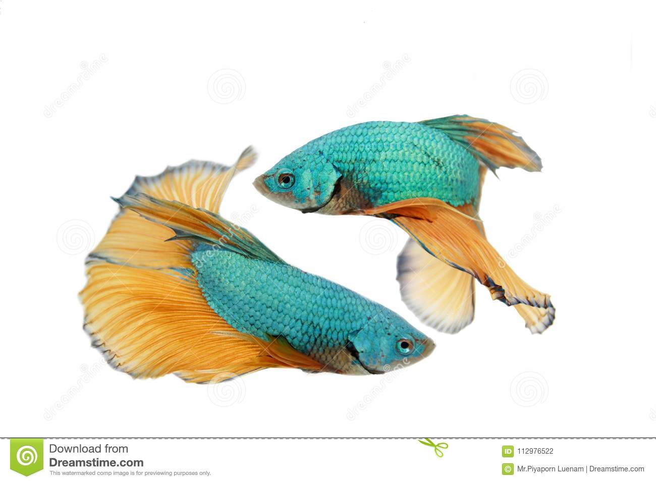 Fighting fish on white background.