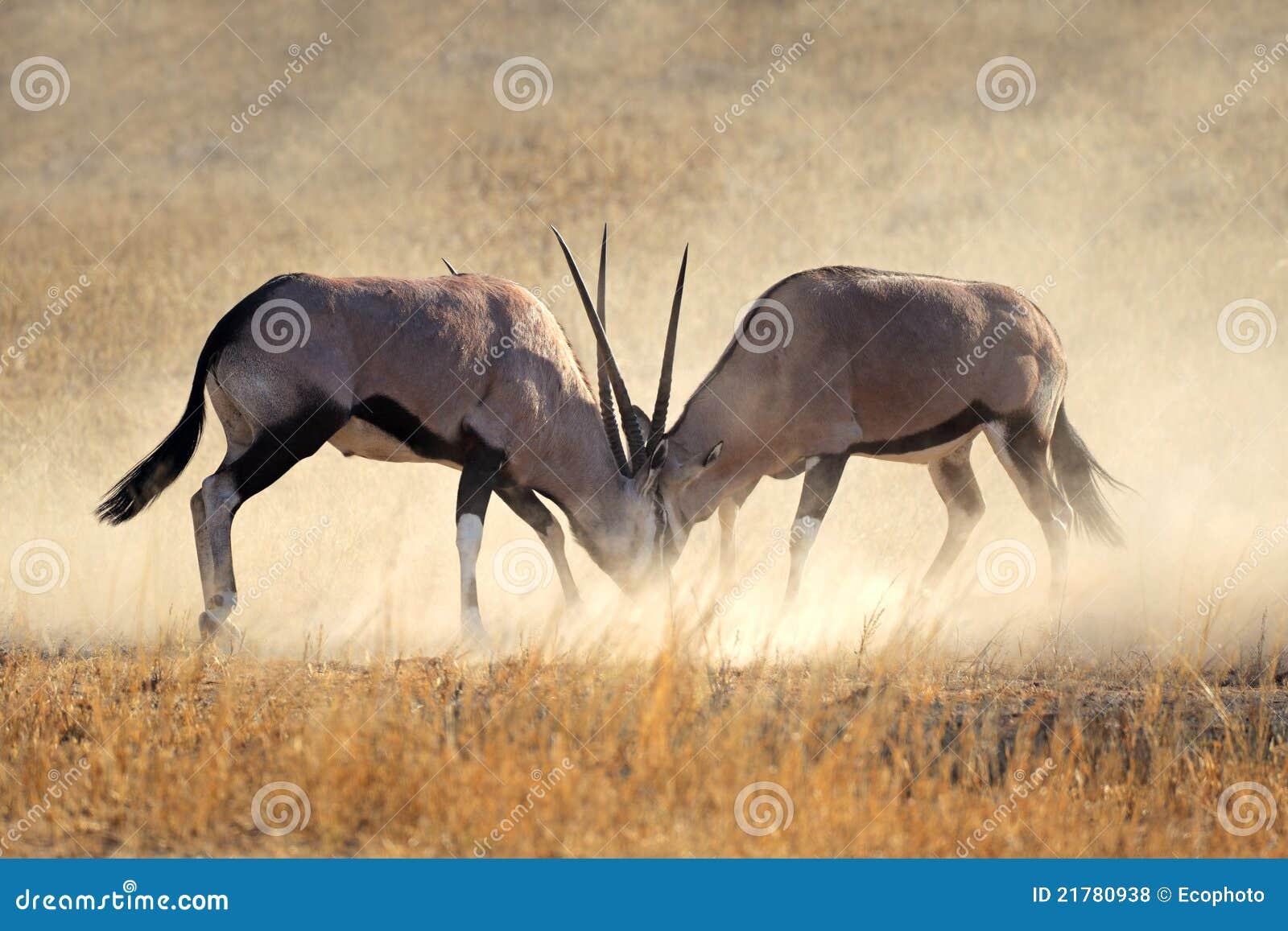 Fighting Gemsbok Royalty Free Stock Photos - Image: 21780938