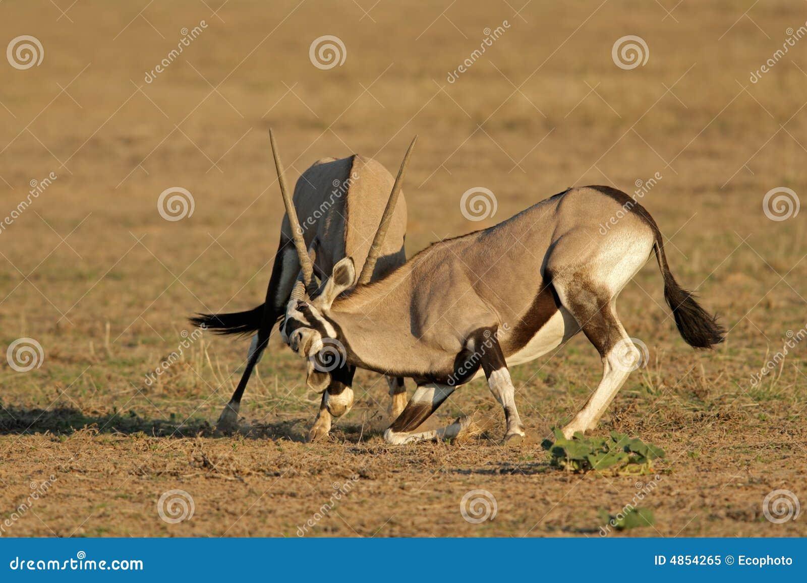 Fighting Gemsbok Royalty Free Stock Photo - Image: 4854265