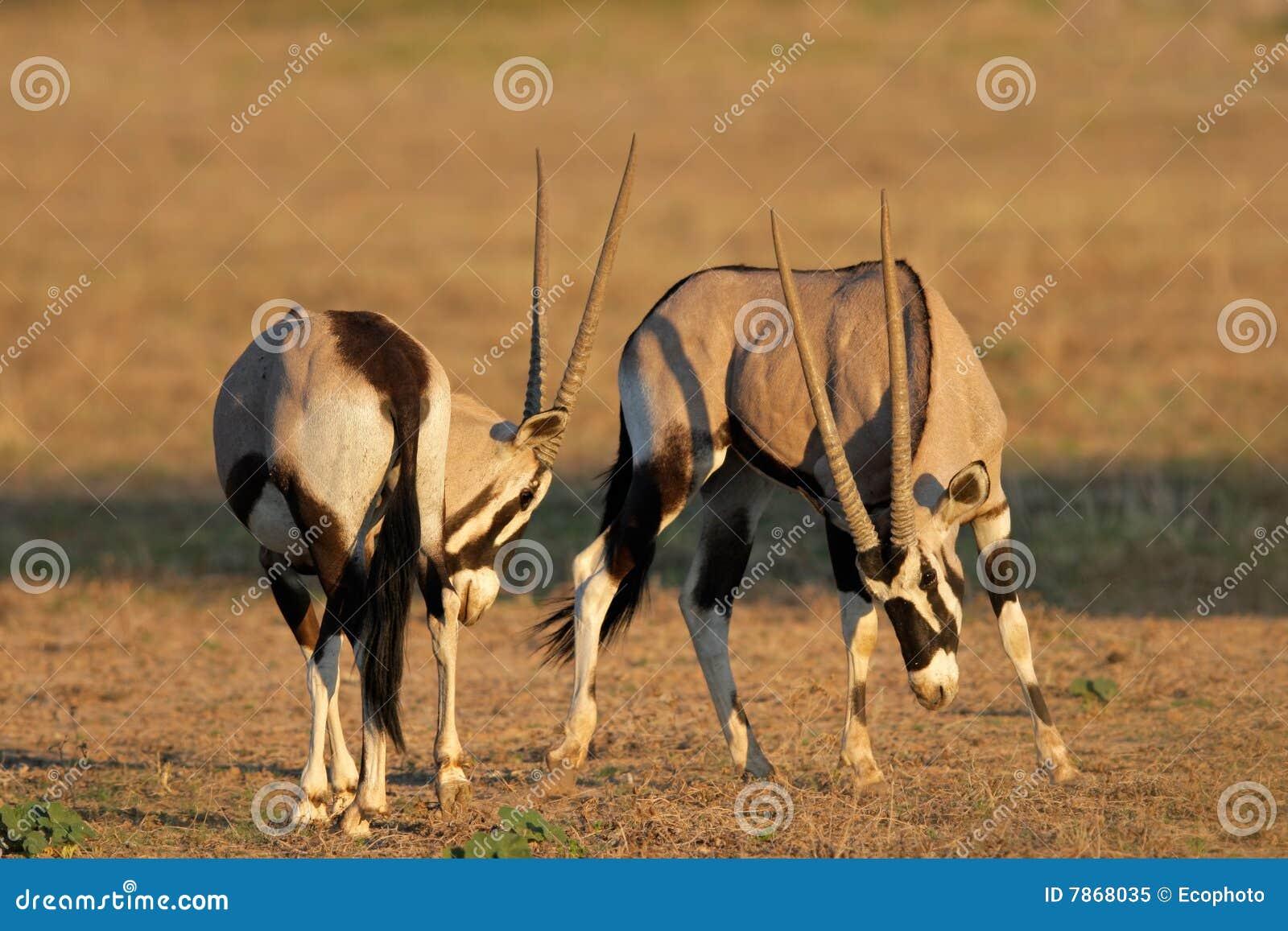 Fighting Gemsbok, Kalahari Desert, South Africa Stock ...