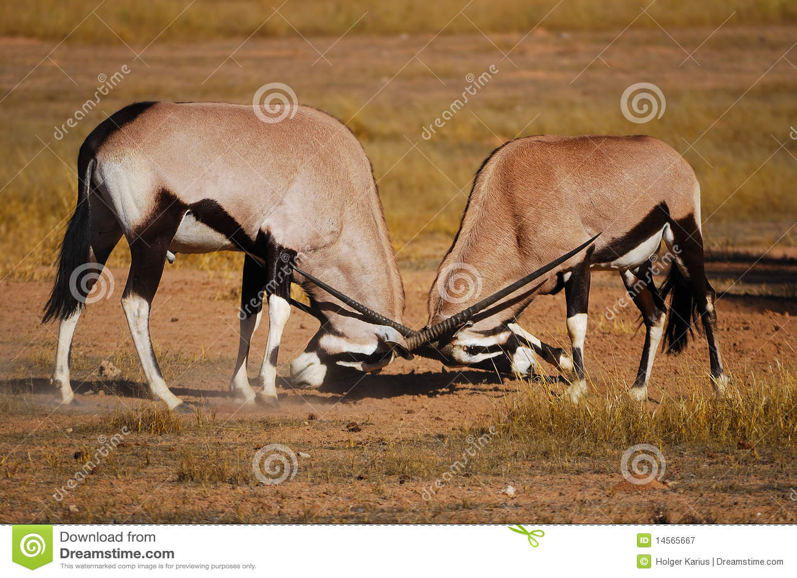 Fighting Gemsbok (Oryx Gazella) Royalty Free Stock ...