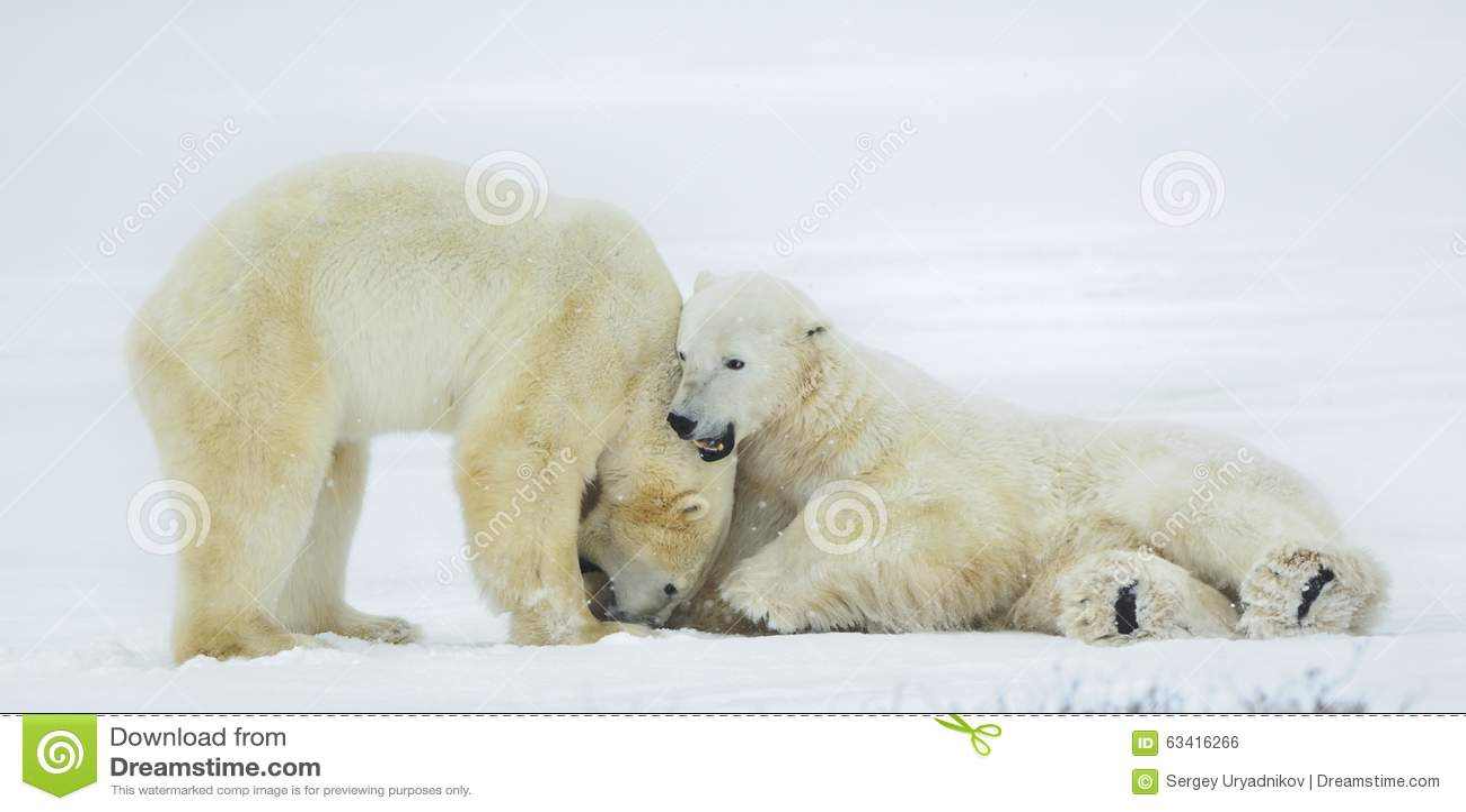 Fighting Polar bears (Ursus maritimus ) on the snow.