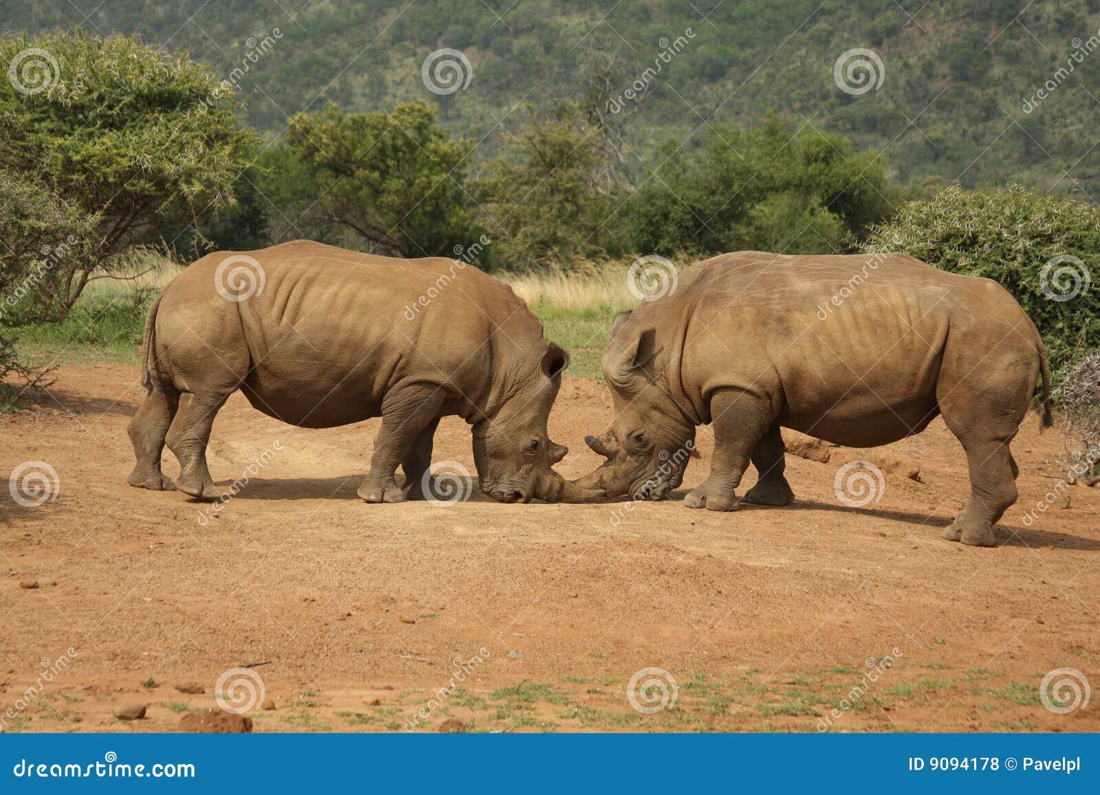 Fighting Rhinos, South Africa