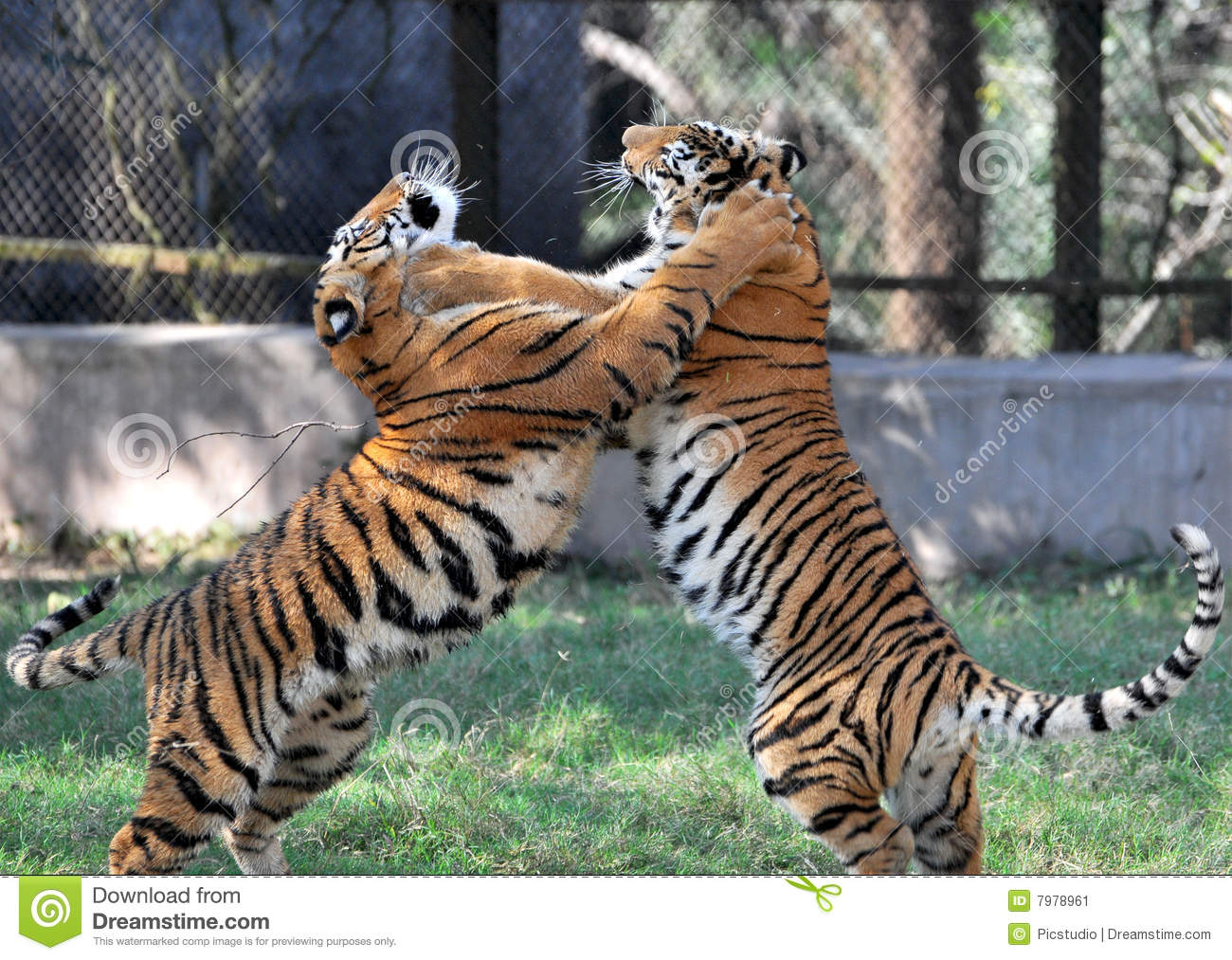Dragon And Tiger Fight