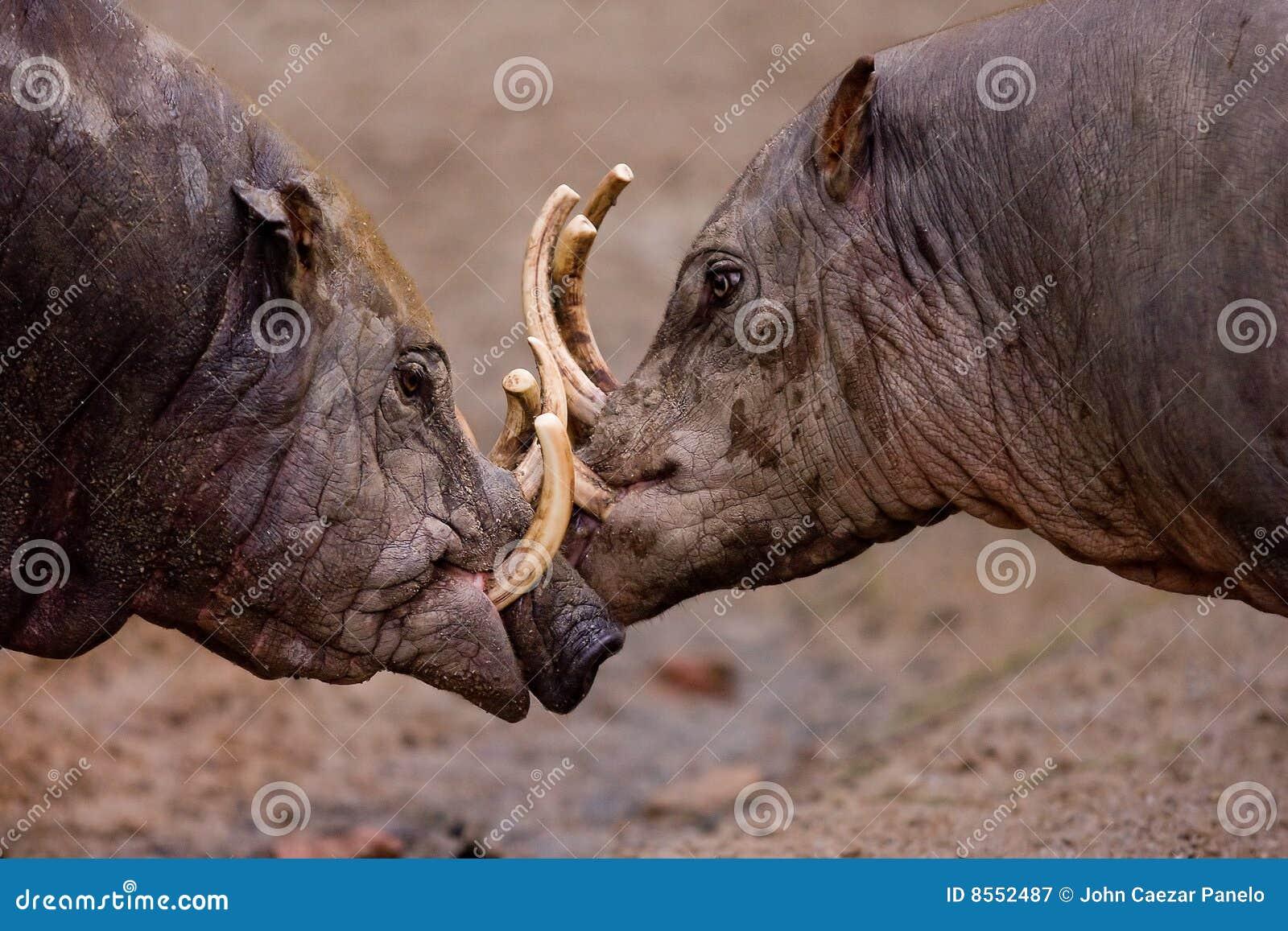 fighting-wild-boars-8552487.jpg