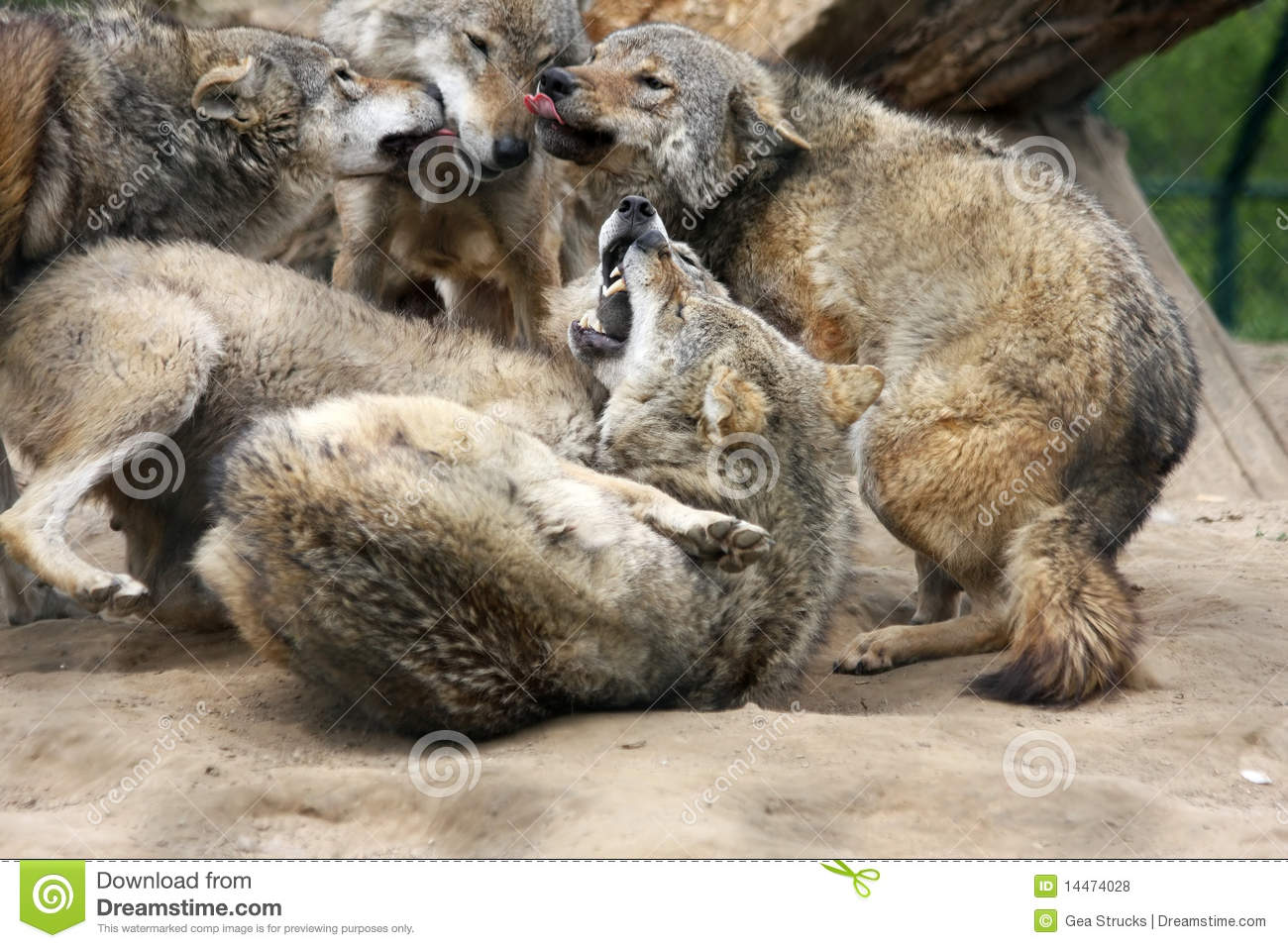 fighting wolves royalty free stock photos image 14474028