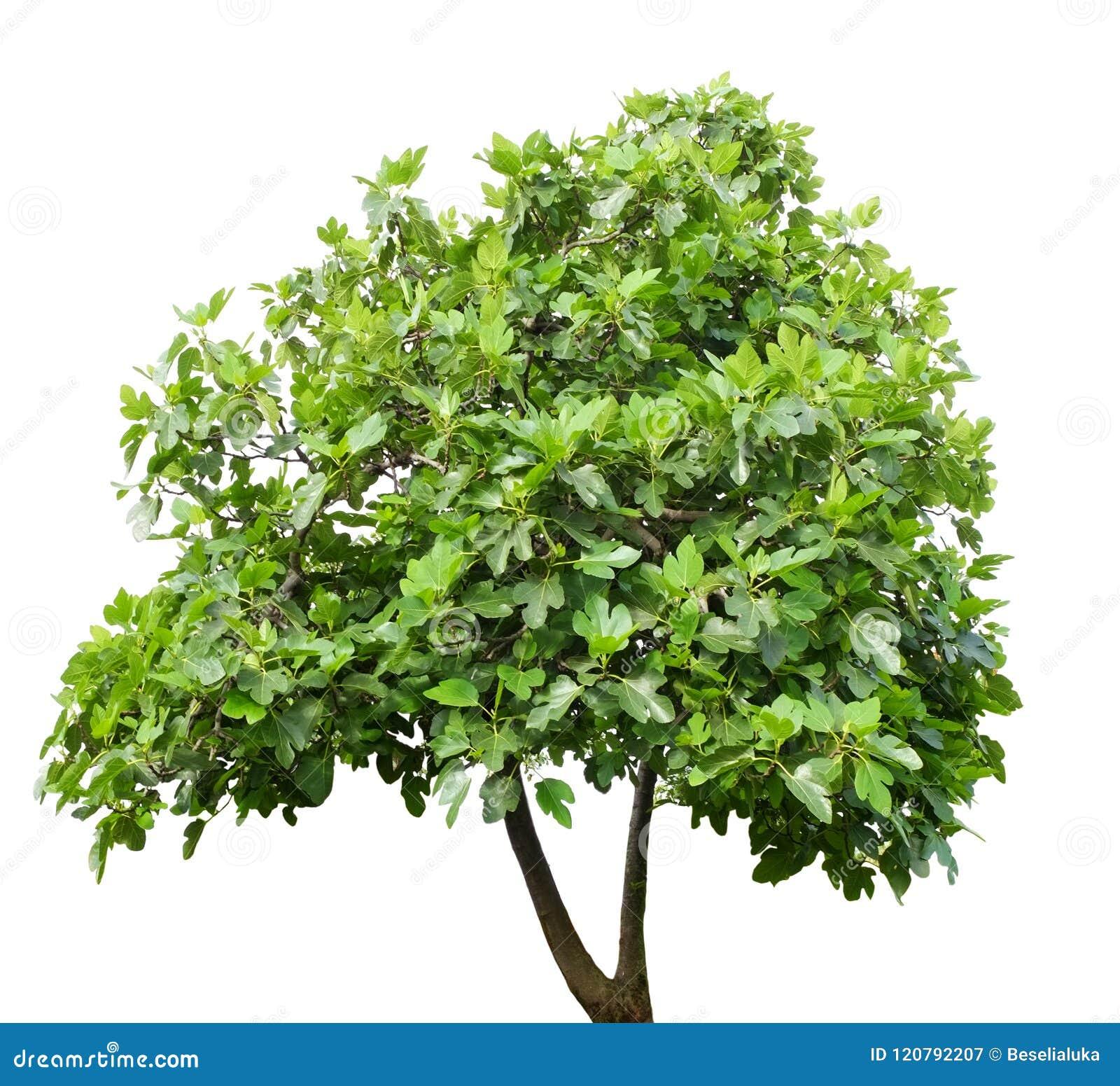 Figi drzewo odizolowywający