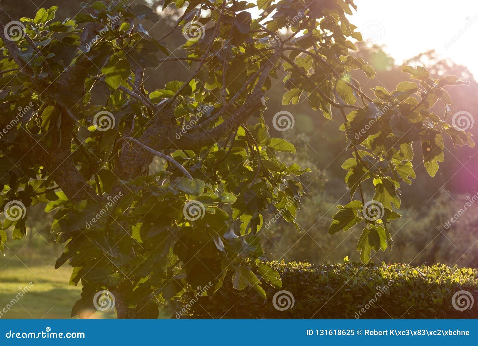 Figi drzewo w backlight