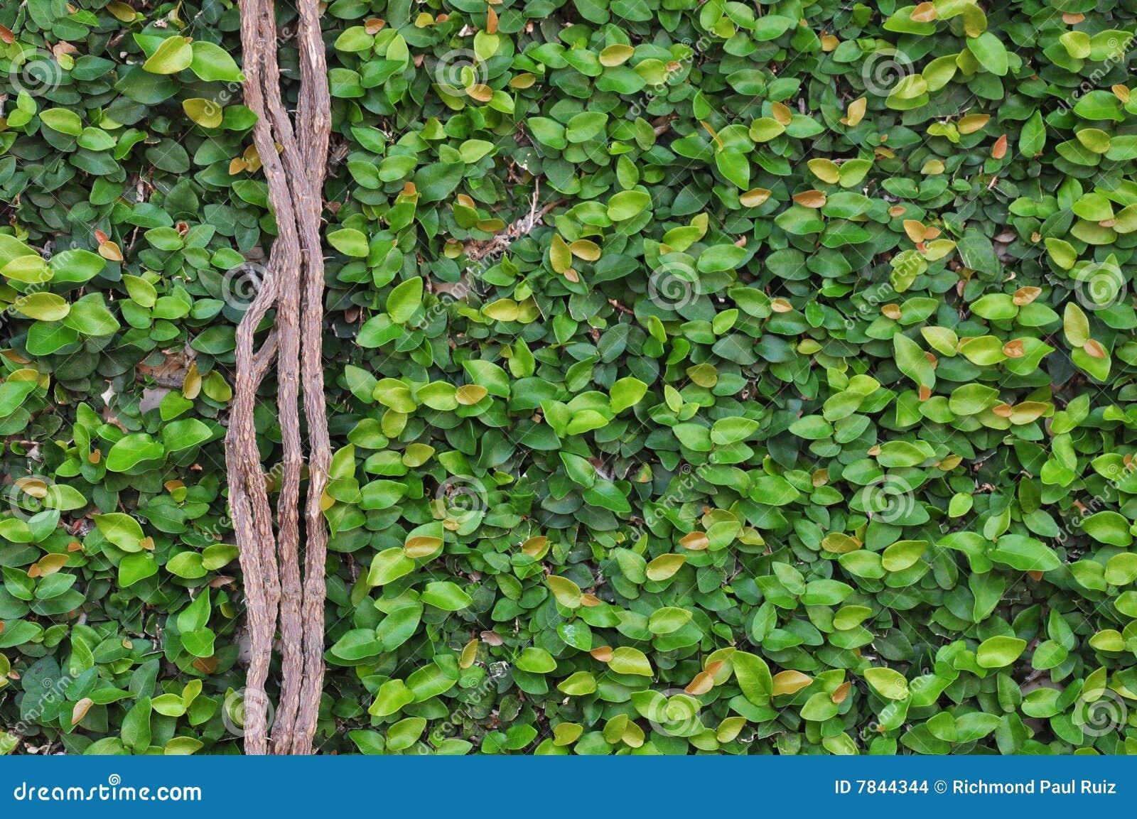 Figi pnąca ściana