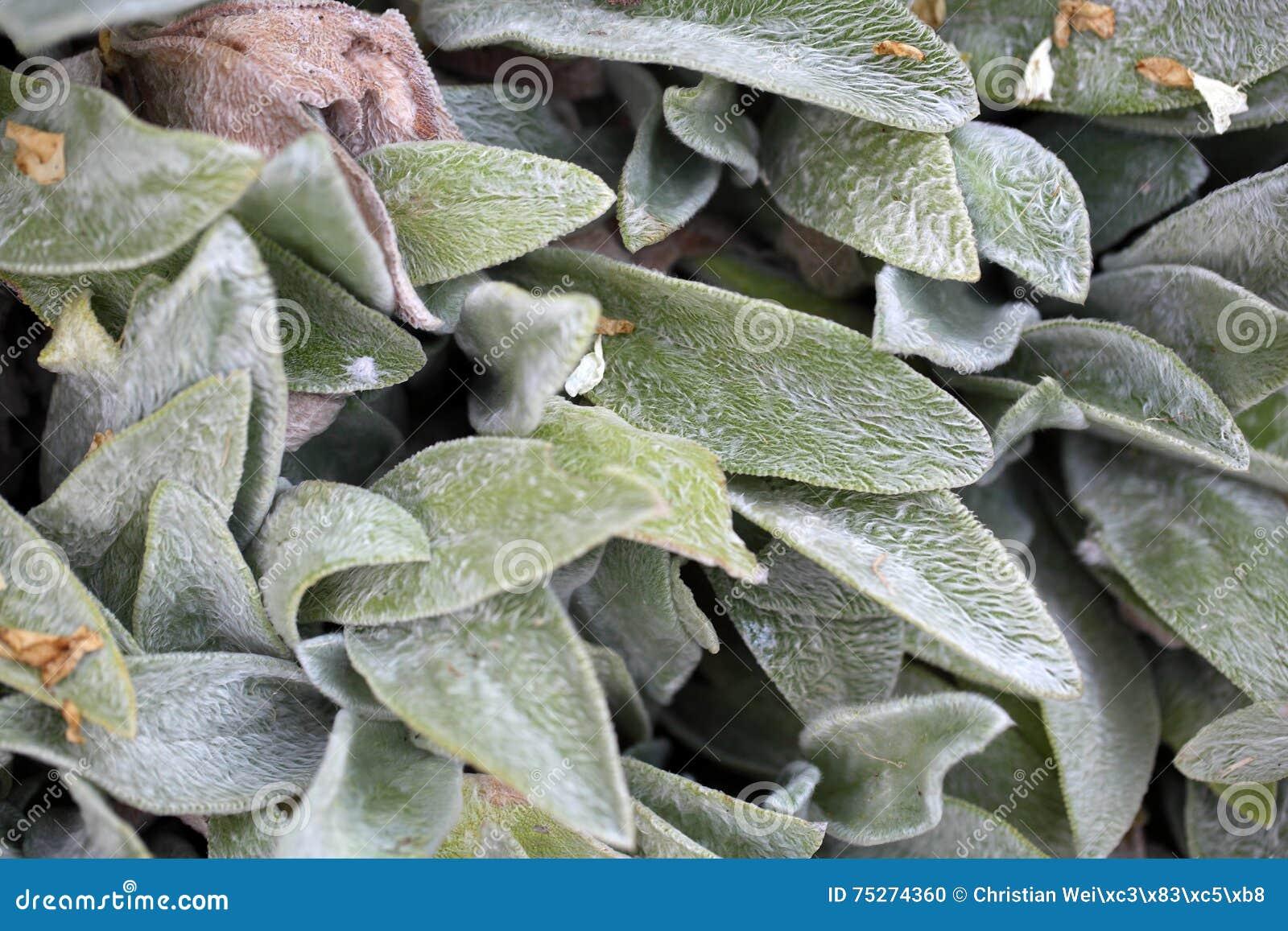 Pianta Orecchie Di Agnello figlia la pianta dell'orecchio (bizantino dello stachys