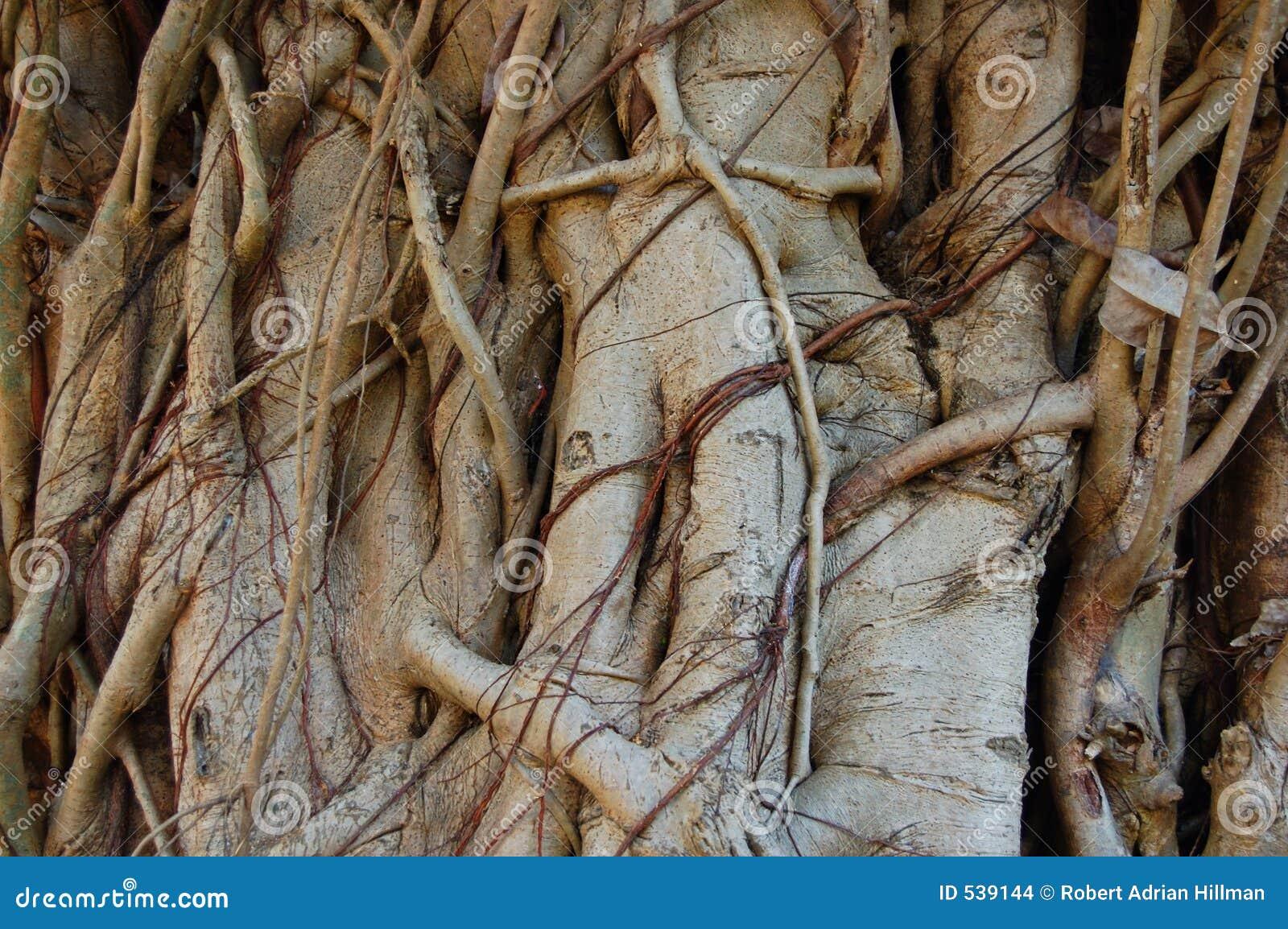 Figo Tangled