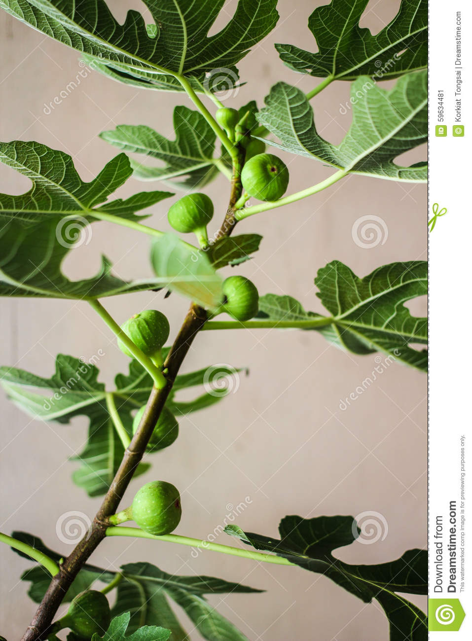 how to grow a fig tree from a branch