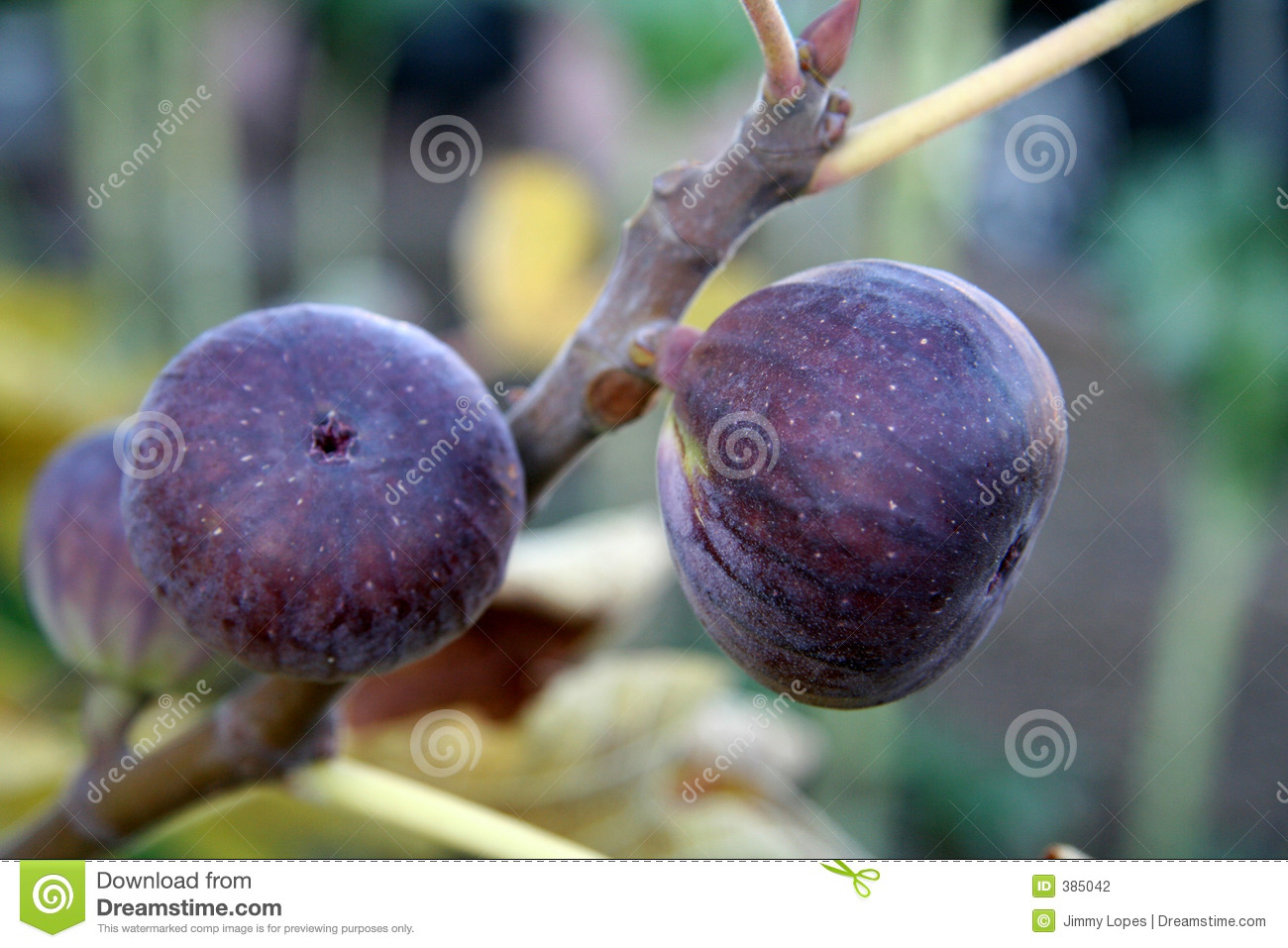 Figs on the Vine
