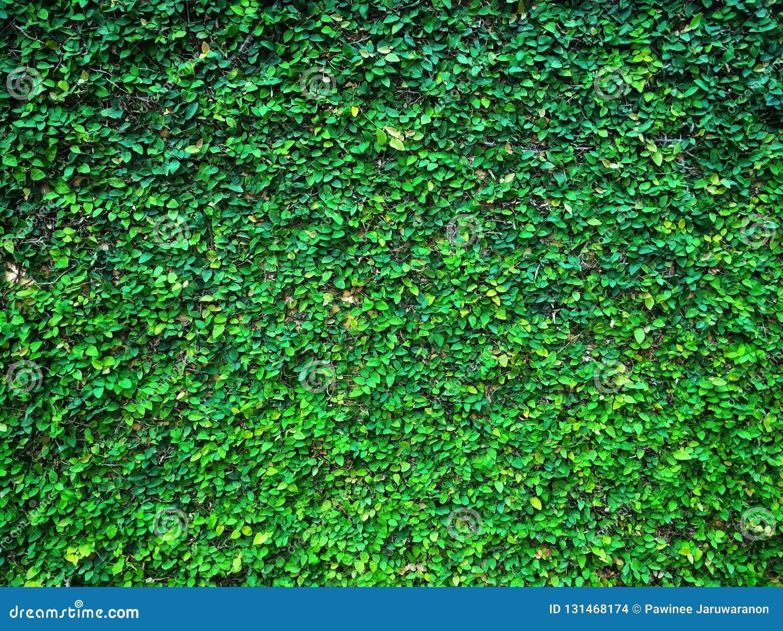 Figue de rampement d usine de figue ou pumila s élevante verte de ficus s élevant et couvrir sur le mur de ciment