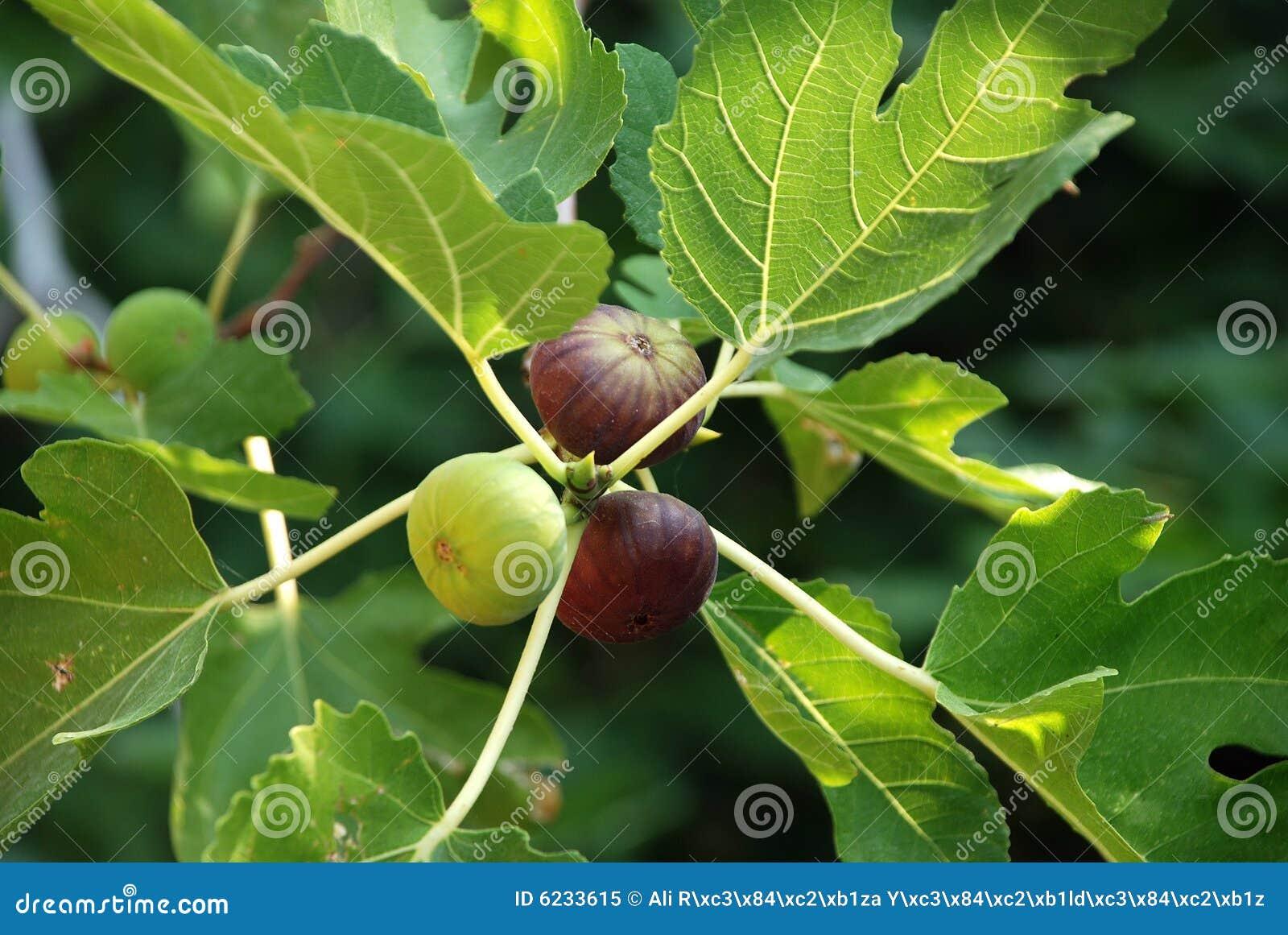 Figues sur l arbre