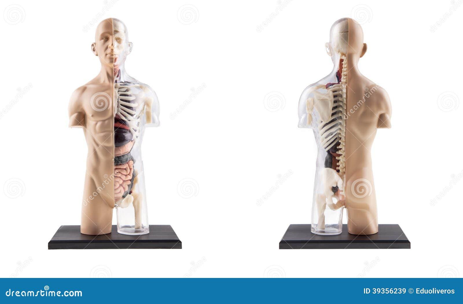 Figura Corte Transversal Del Cuerpo Humano Imagen de archivo ...