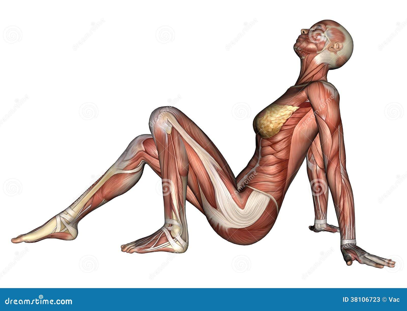 Figura Femenina De La Anatomía Stock de ilustración - Ilustración de ...