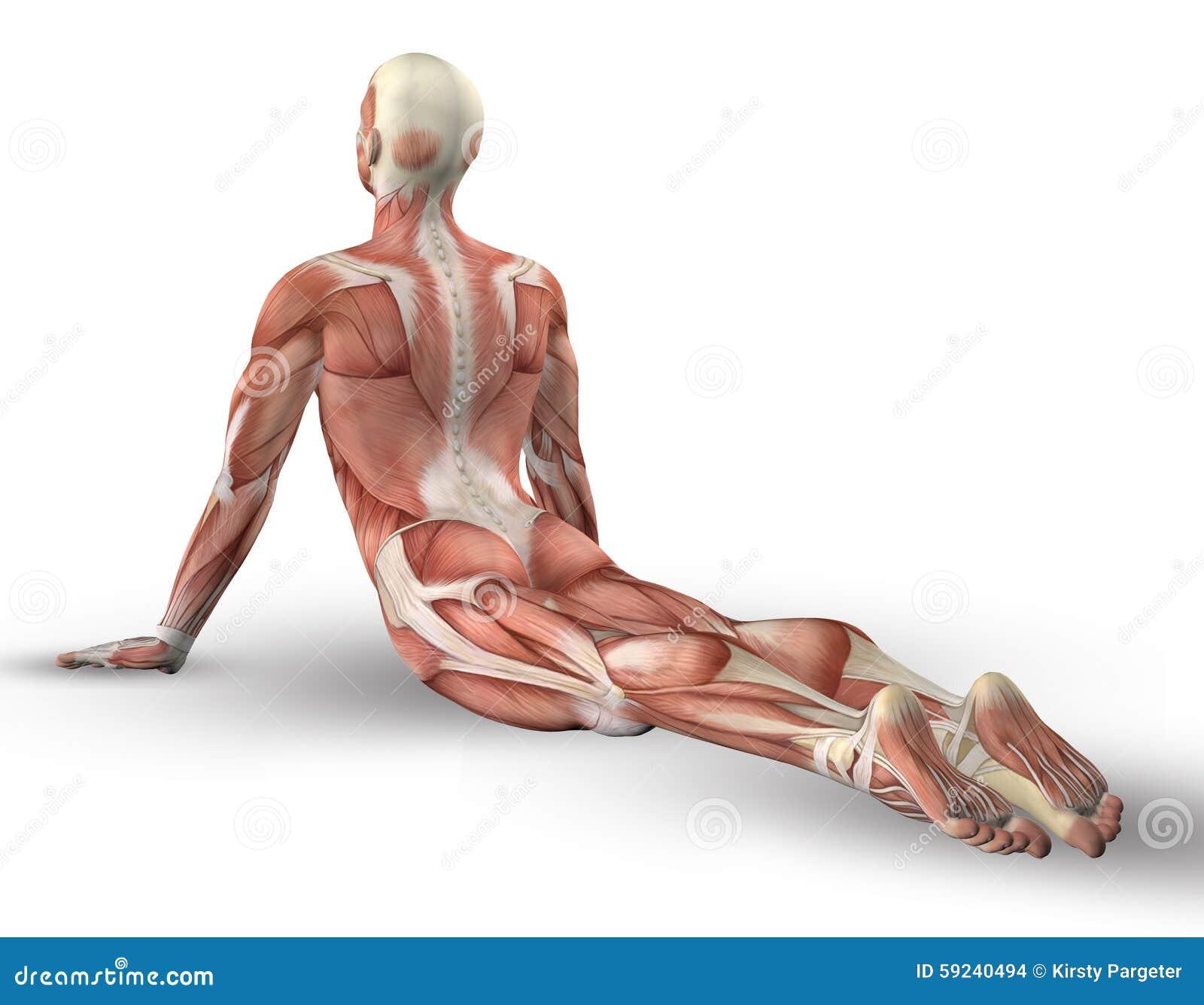 Figura masculina 3D con el mapa del músculo en actitud de la yoga