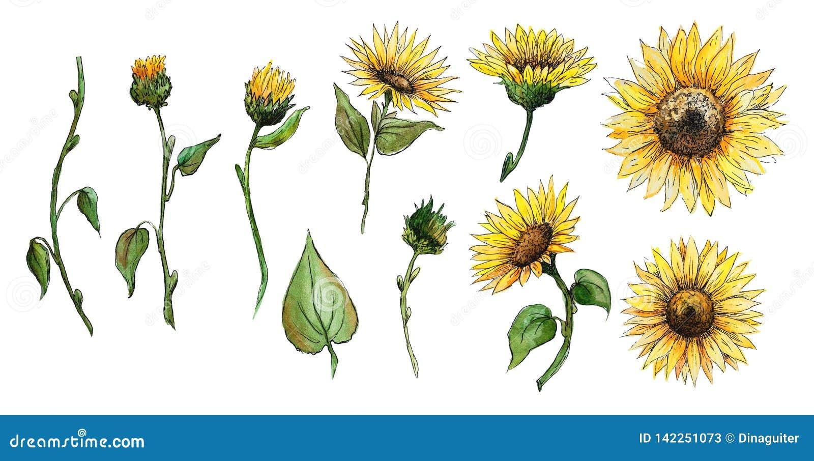 Fije de las flores de los elementos, brotes, tallos de los gráficos de una acuarela del girasol aislados