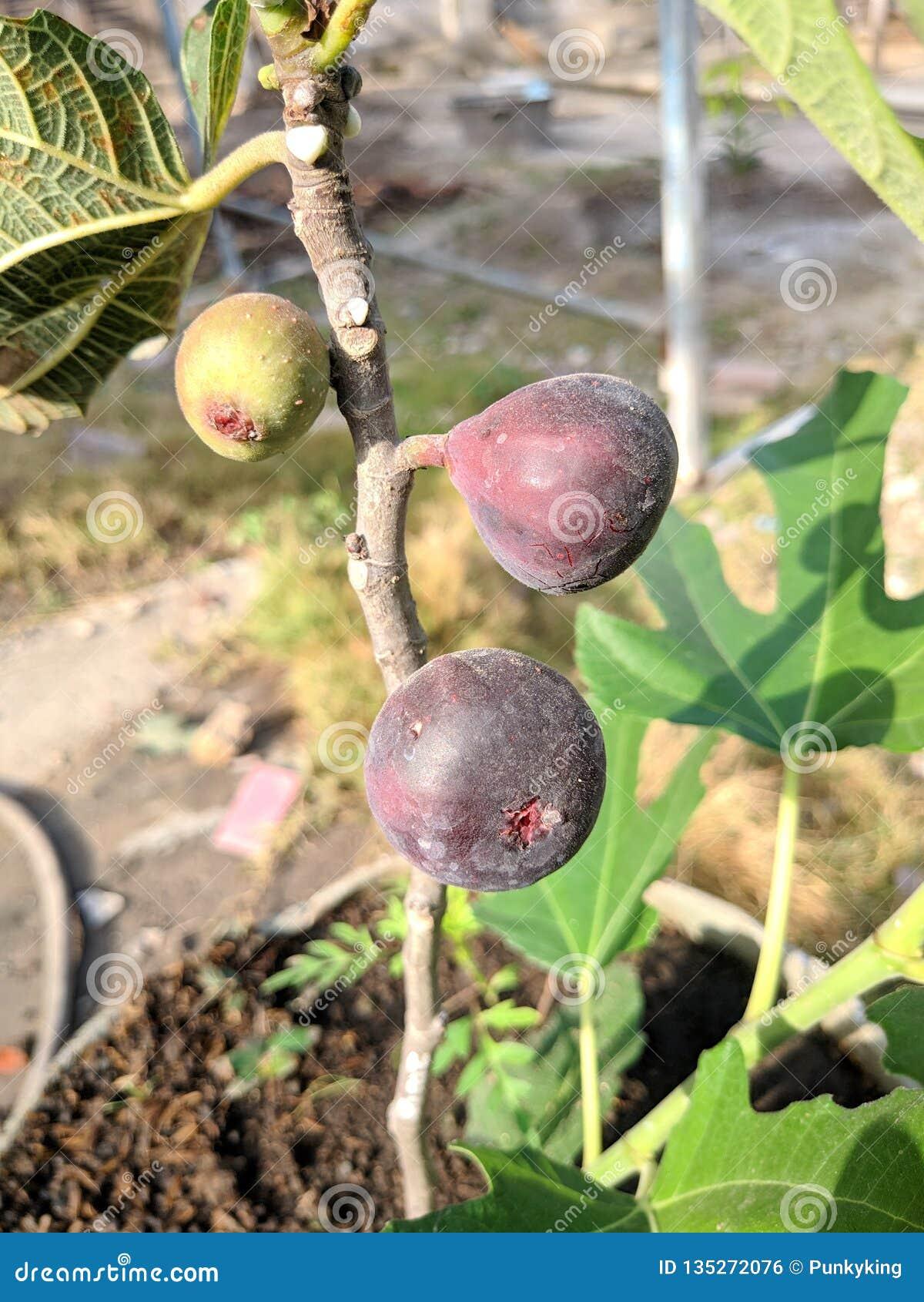 Fikusfruktblom