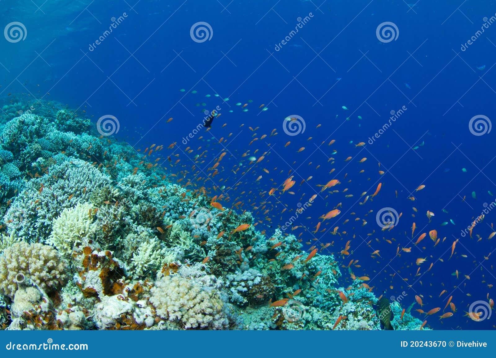 Filón coralino con anthias del lyretail