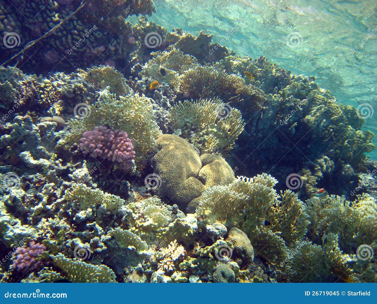 Filón coralino con el coral del fuego, Mar Rojo, Egipto