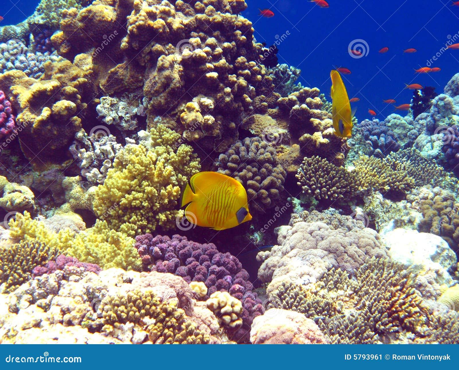 Filón coralino en el Mar Rojo