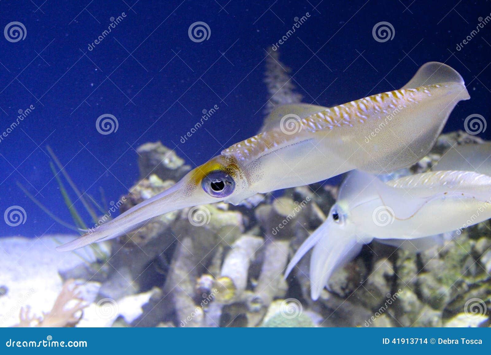 Filón grande de la aleta del calamar