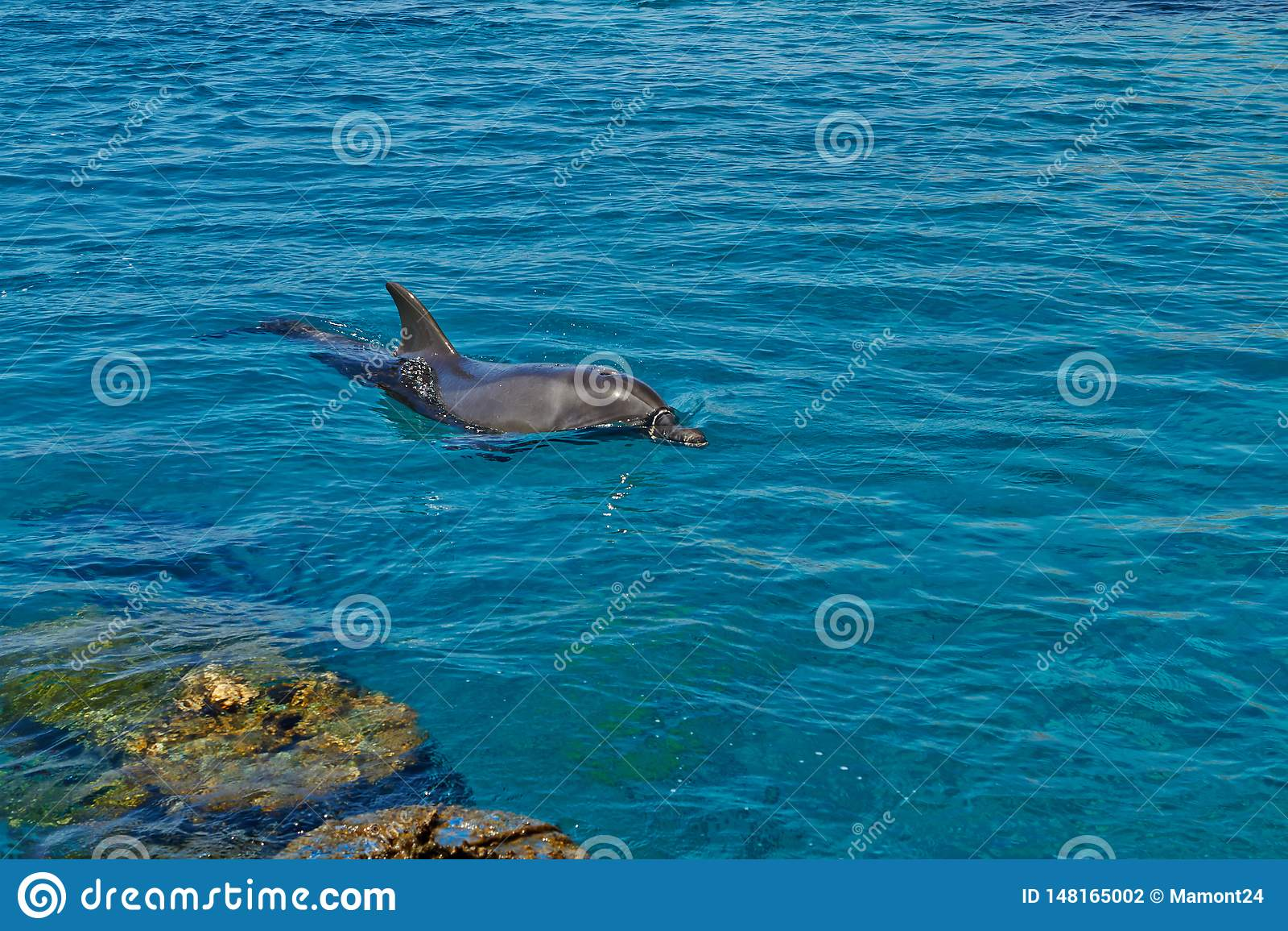 Fil?n del delf?n en el Mar Rojo