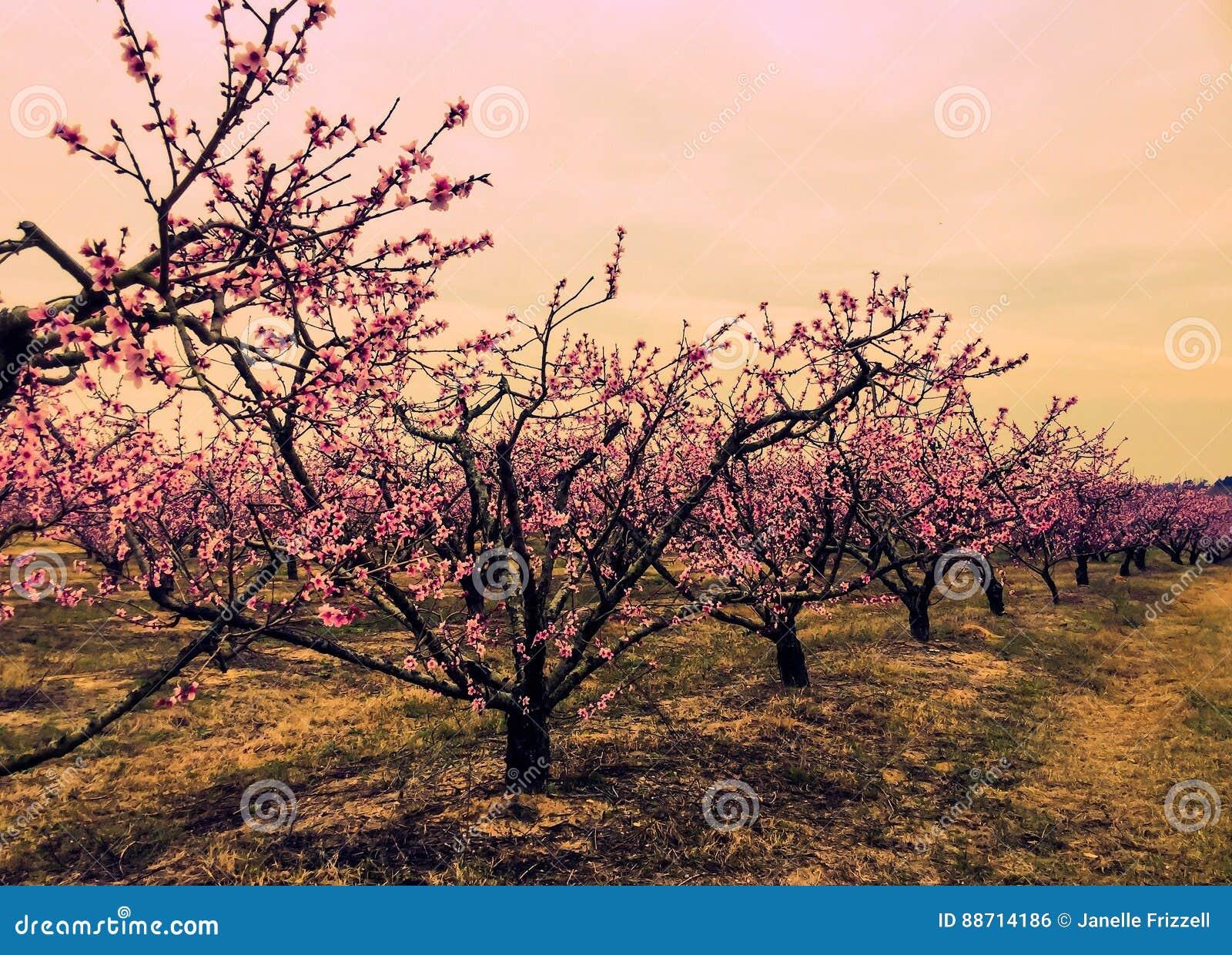 Fila de la floración de los árboles de melocotón