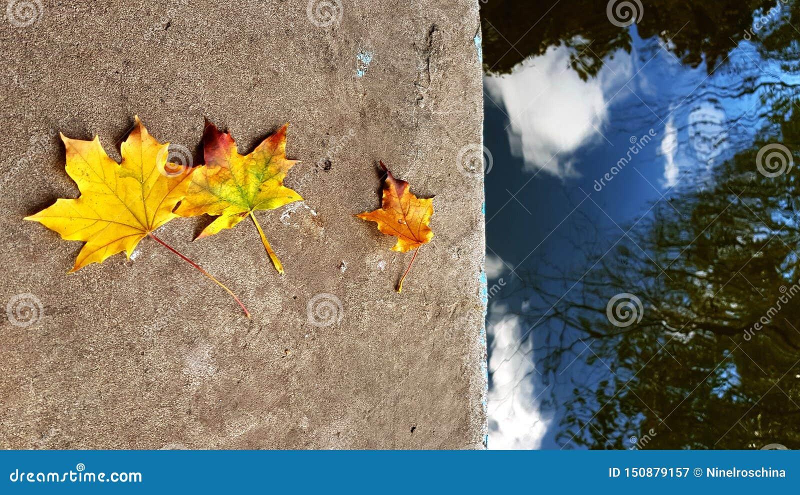 Fila de tres hojas de arce amarillo-naranja de diversos tamaños