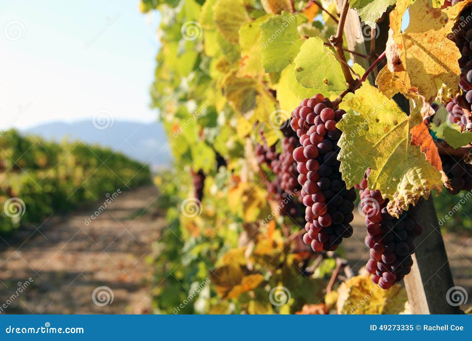 Fila dell uva del vino rosso