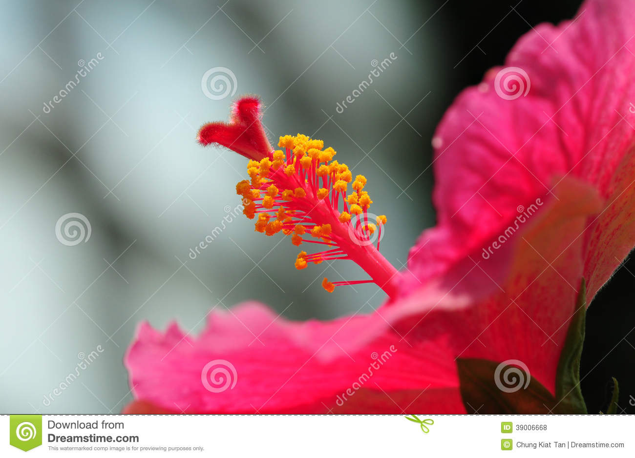 Filament Of Hibiscus Stock Photo Image Of Pink Spring 39006668