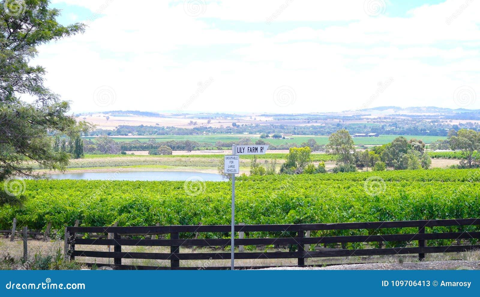 Filas de la vid y del valle circundante de Lily Farm Road, Barossa Valley